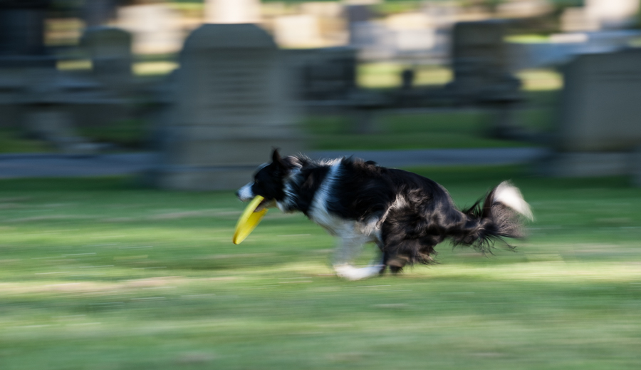 Border collie with frisbee running fast