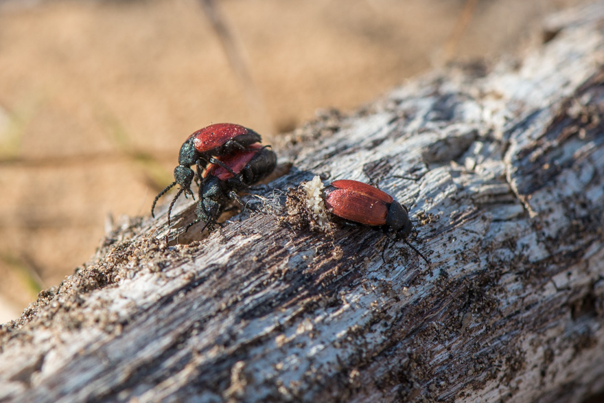 Tricrania sanguipennis beetles at Cutler Park