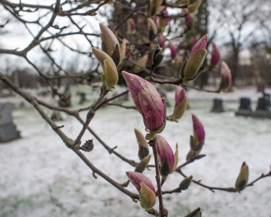 Magnolia tree with flower buds and snow-covered ground in Massachusetts