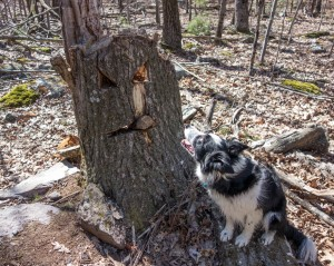 Border collie looking at carved tree stump