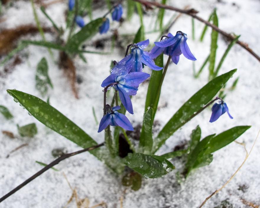 Scilla siberica with snow cover in Massachusetts