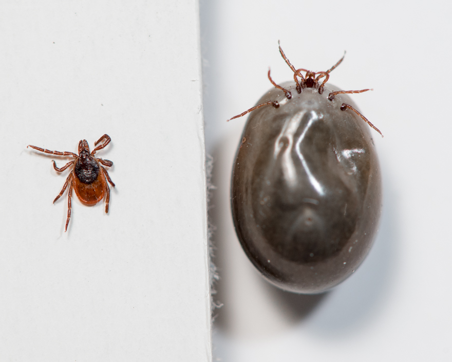 Comparison of black-legged tick, Ixodes scapularis, before and after a blood meal