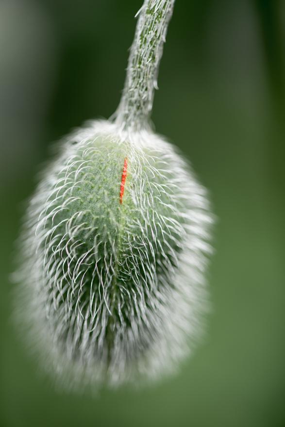 First opening of poppy flower bud