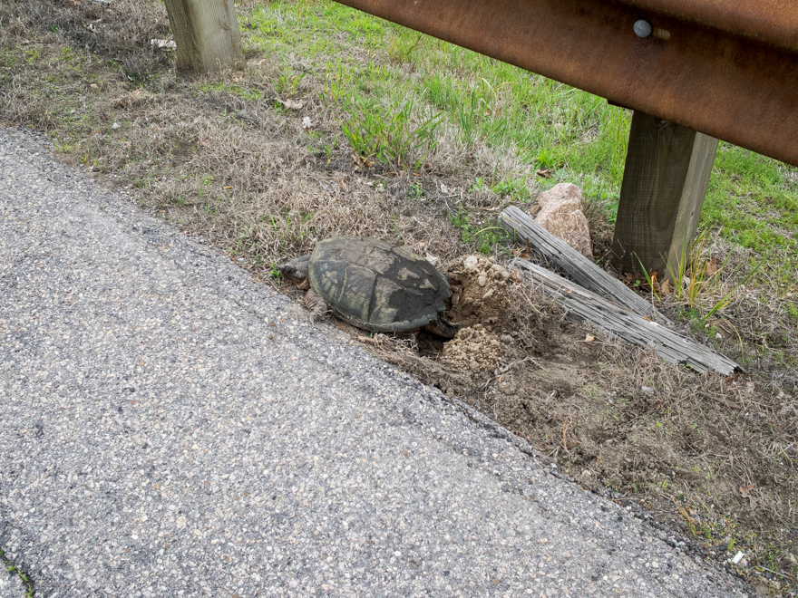 Snapping turtle laying eggs at roadside