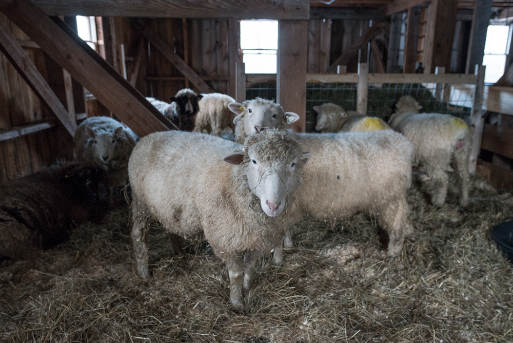 20170129 ewes in barn-4954