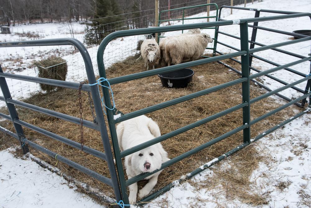 Bravo sheep pen-4530