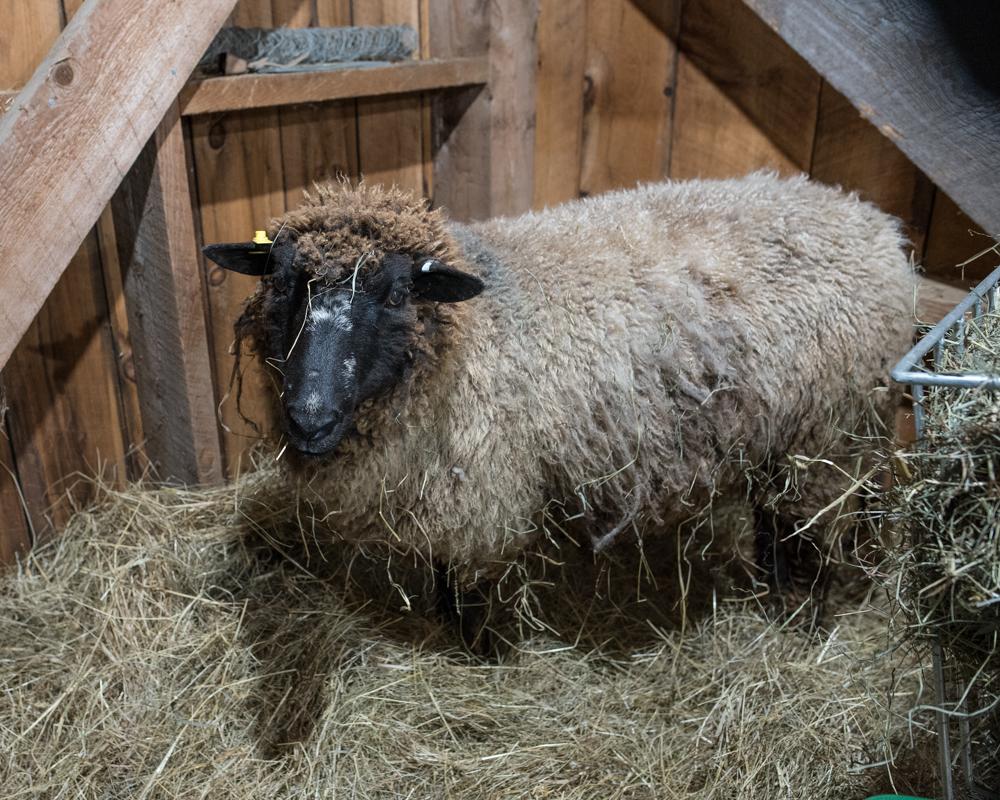 Brown ewe in jug-1