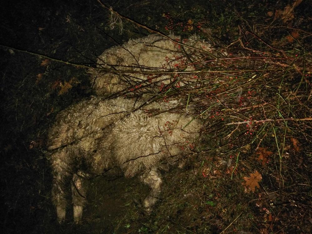 sheep-caught-in-multiflora-rose-1
