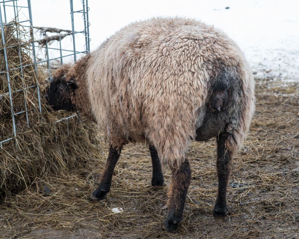 Wendy's brown ewe-4822