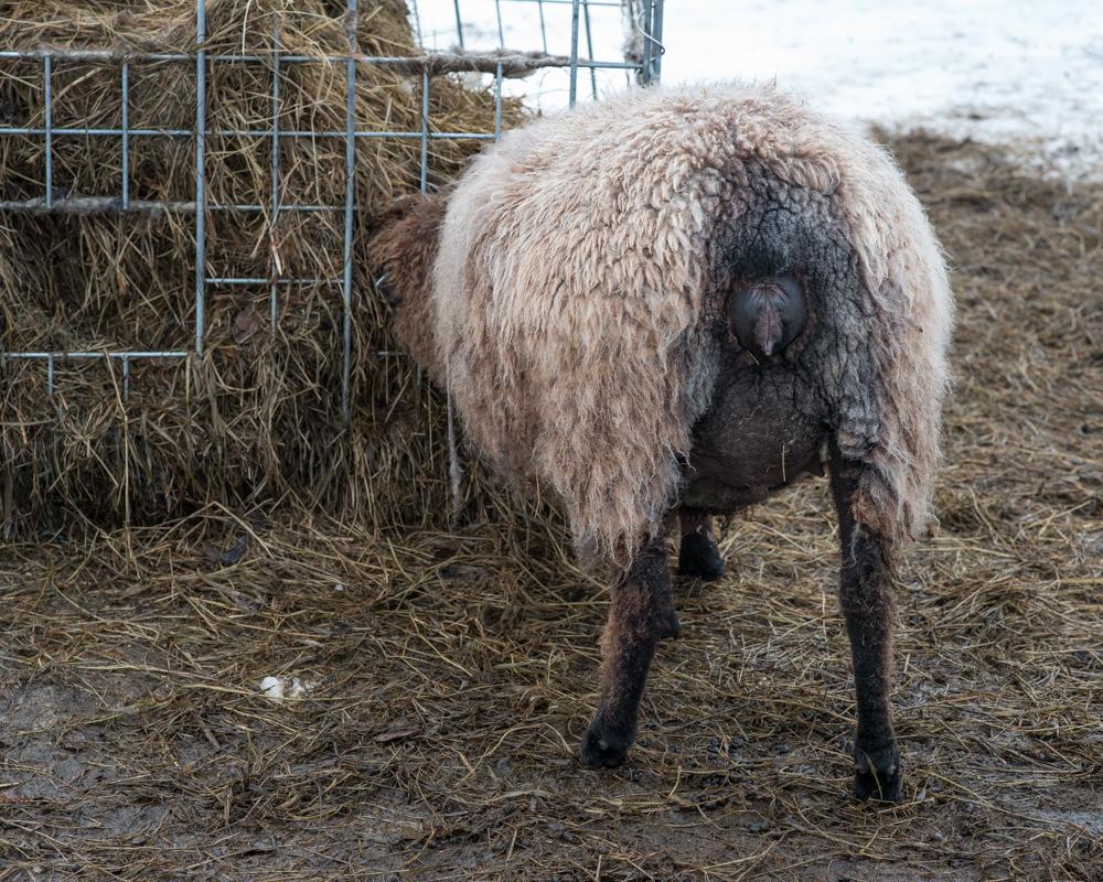 Wendy's brown ewe-4831