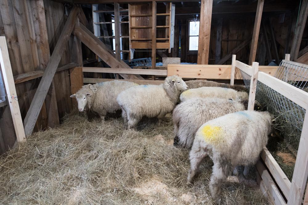 ewes in barn-4900