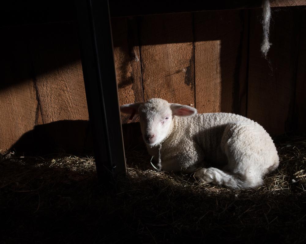 Lamb in sunlight-6343