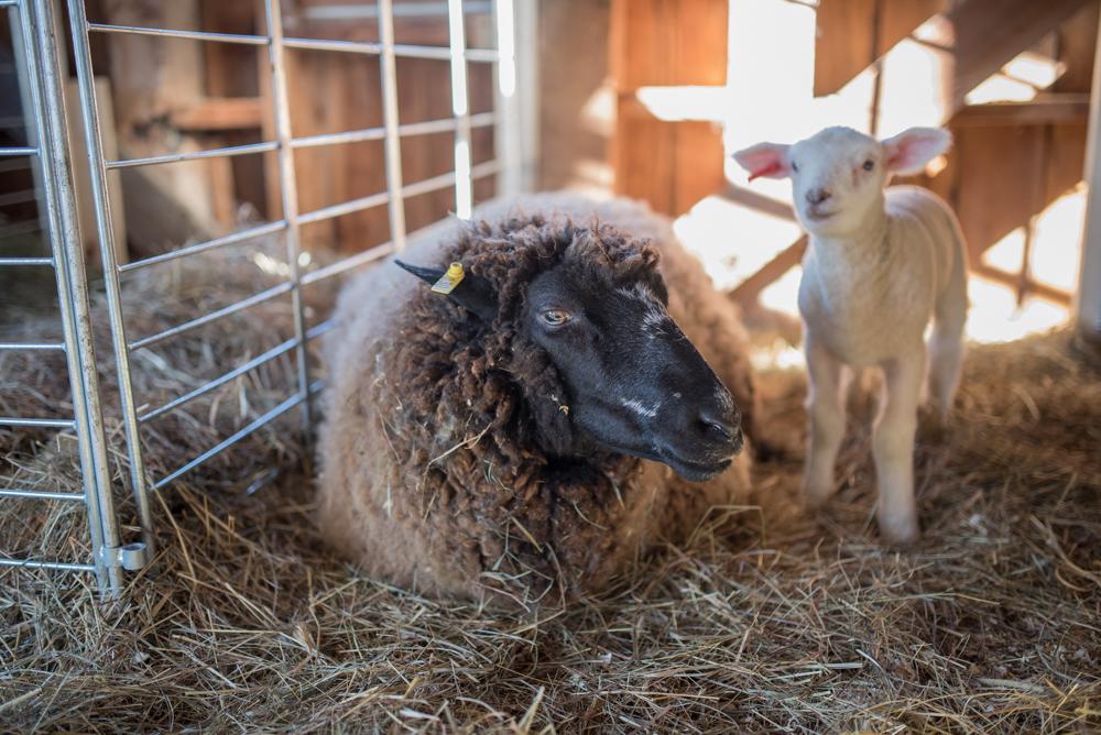 brown ewe 20170224-6156