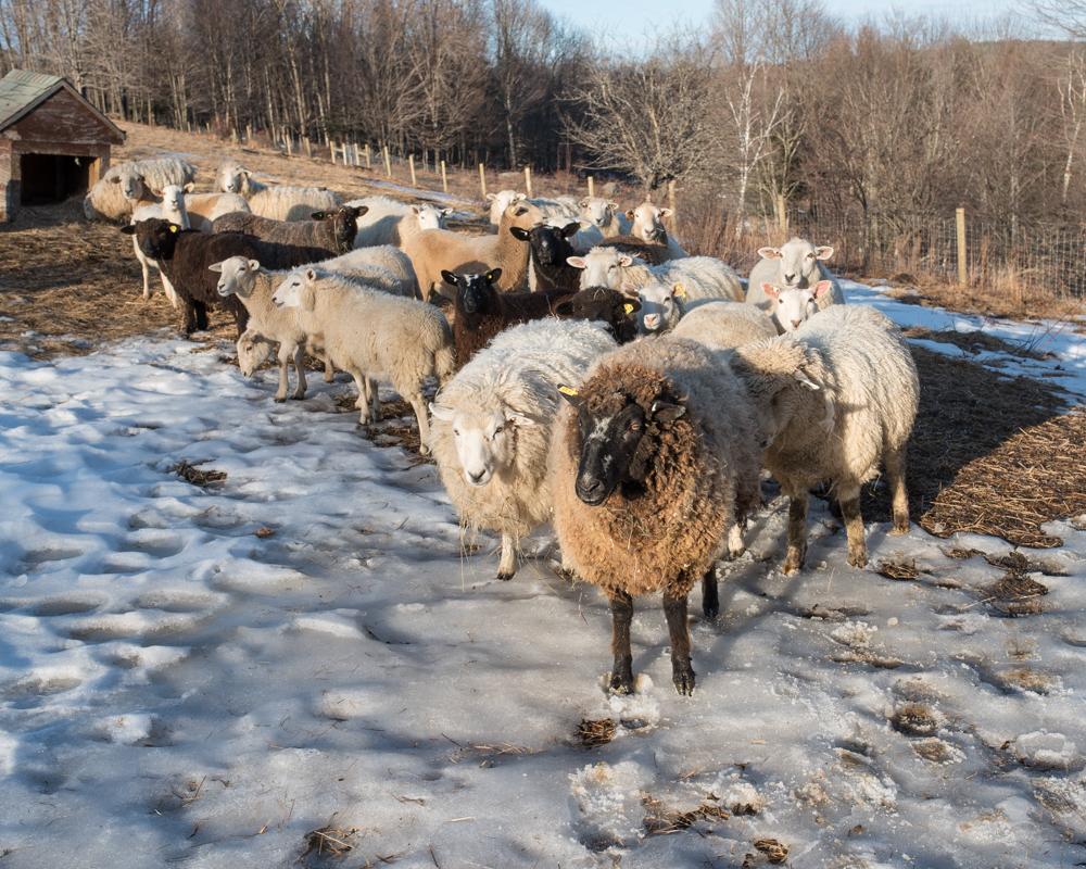 brown ewe 20170224-6175