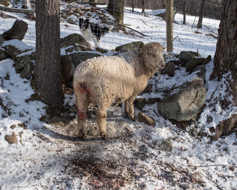 Bravo's 2nd lamb-7539
