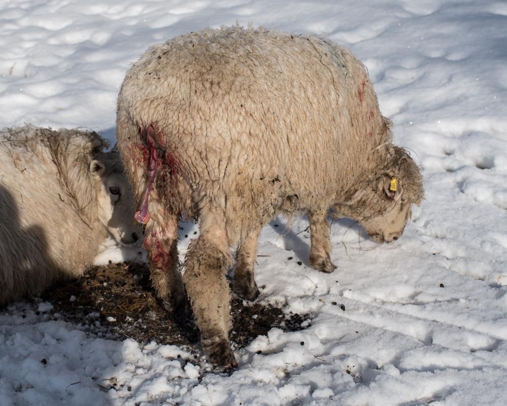 Bravo's 2nd lamb-7545