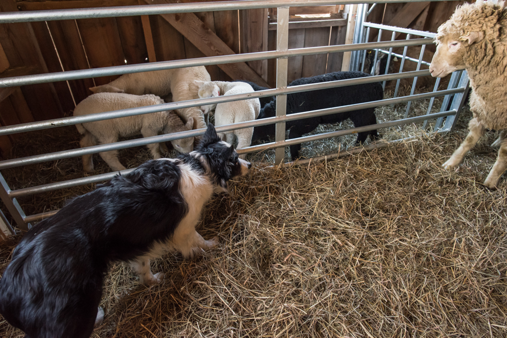 Luc with barn sheep-0931