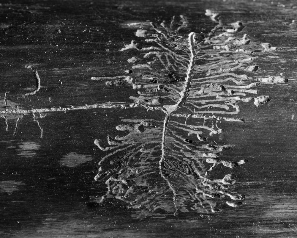 bark beetle galleries-1098