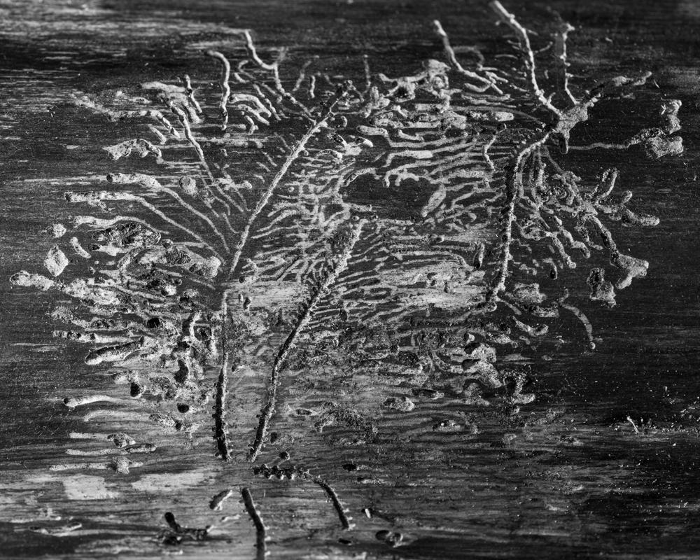 bark beetle galleries-1104