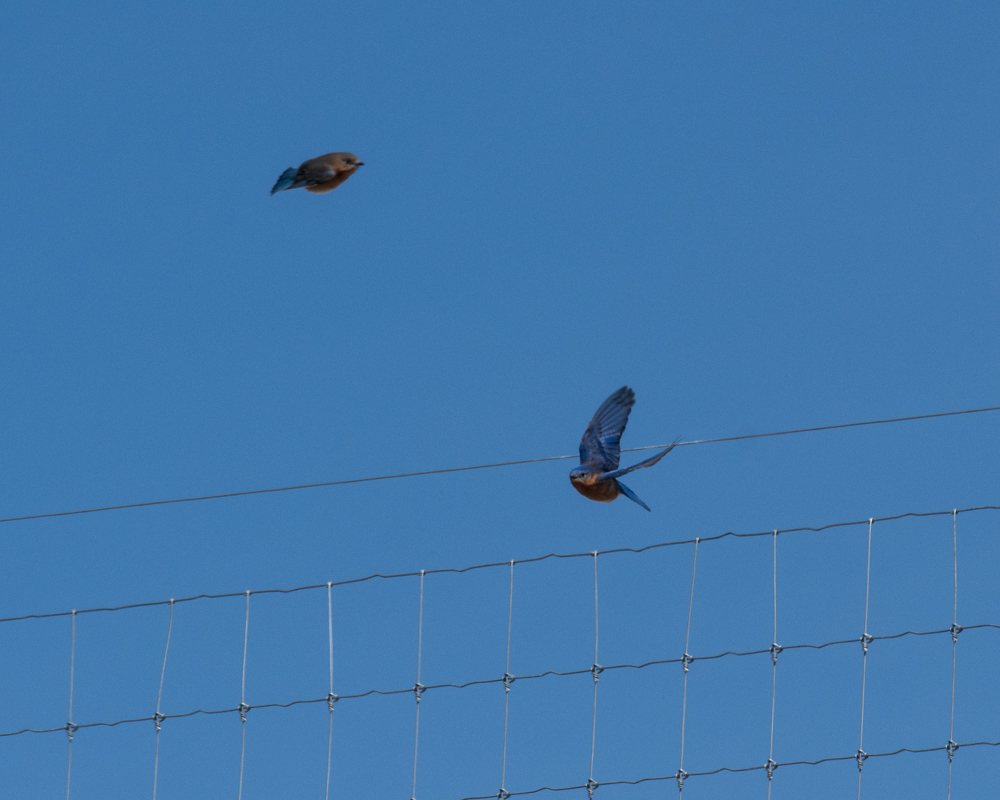 march bluebirds-0721