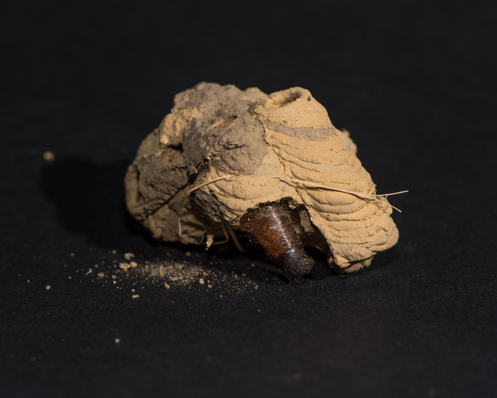 mud wasp nest-1138