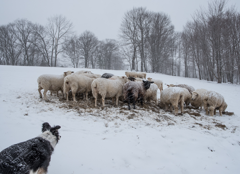 snowy sheep 20170331-7694