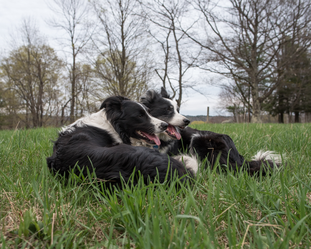Dogs in grass-8637