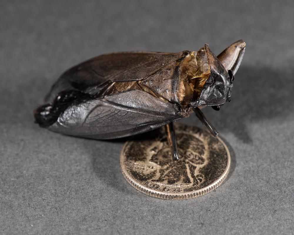 cicada macro-1255
