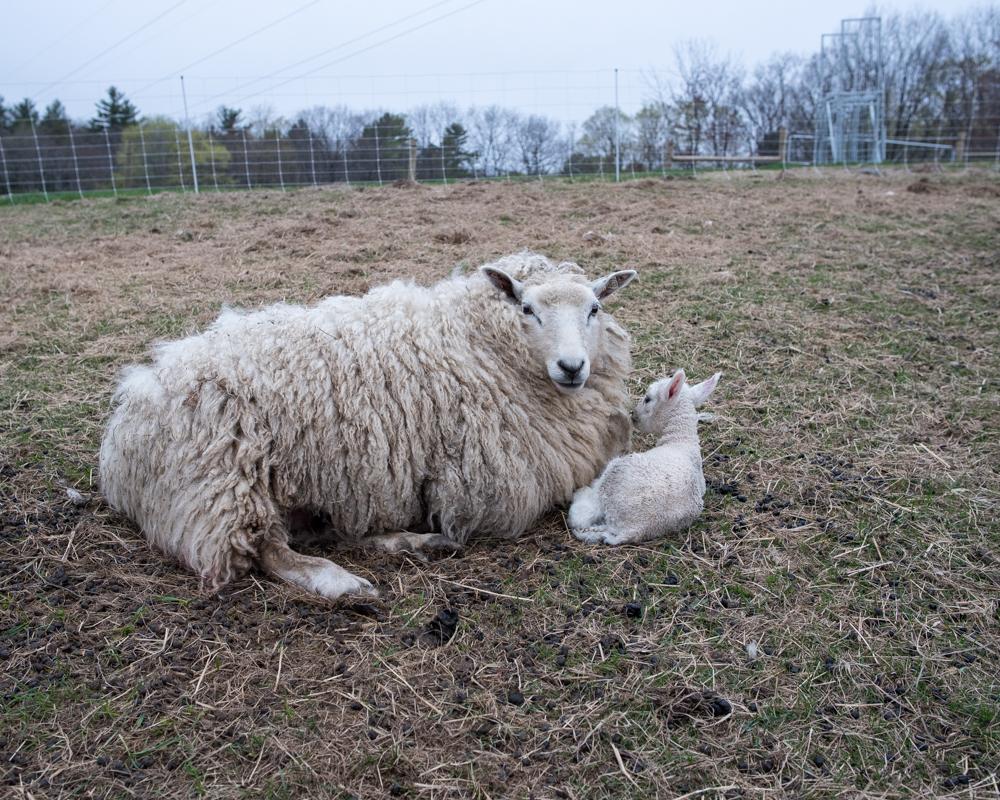 1st pasture lamb-8642