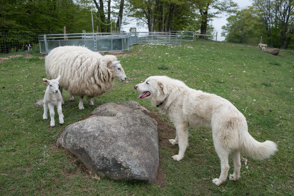 Bravo with young lambs-9252