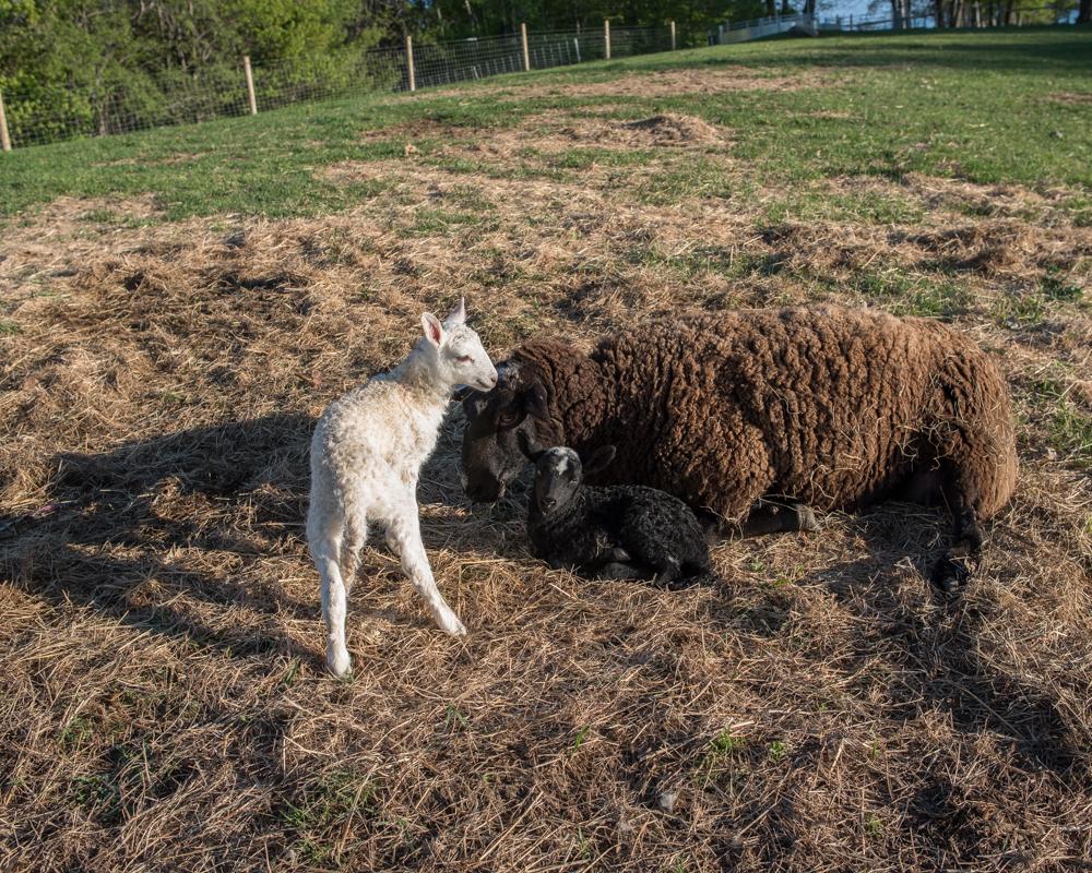 Last lambs 2017-9204