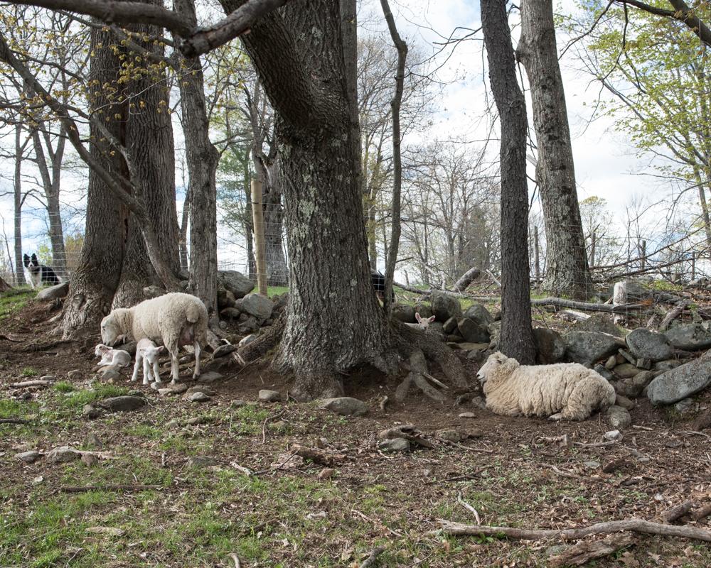 ewes & lambs 20170510-11-8947