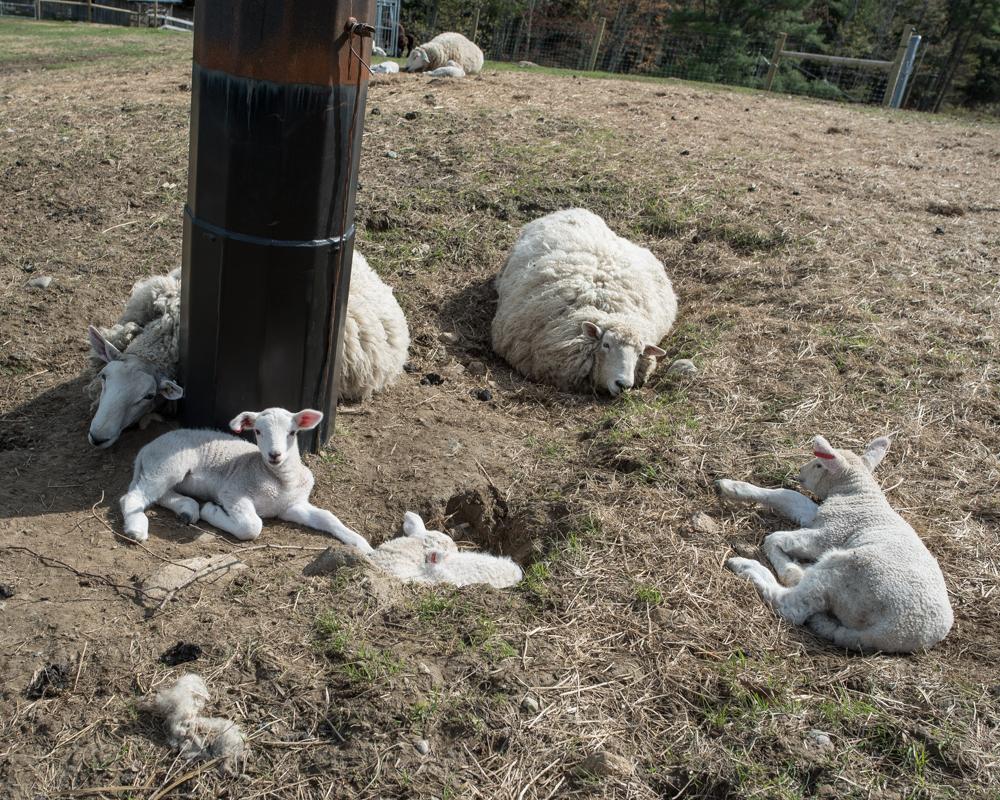lambs in sinkhole-9161