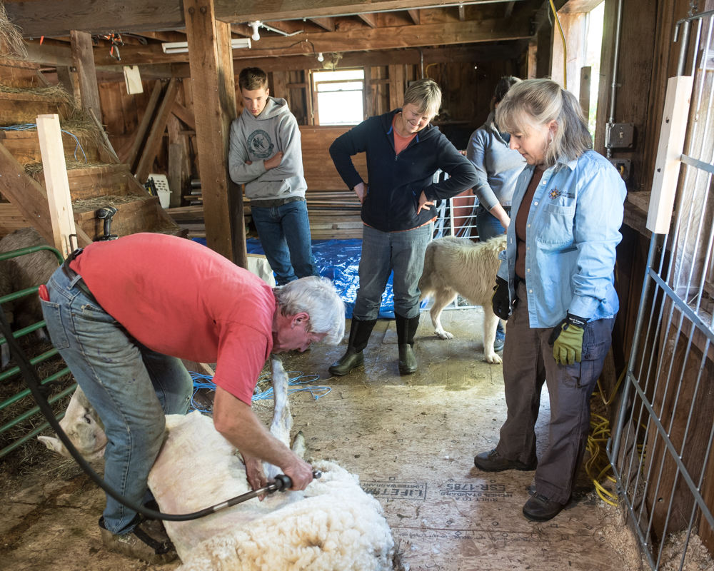 Shearing day-0009