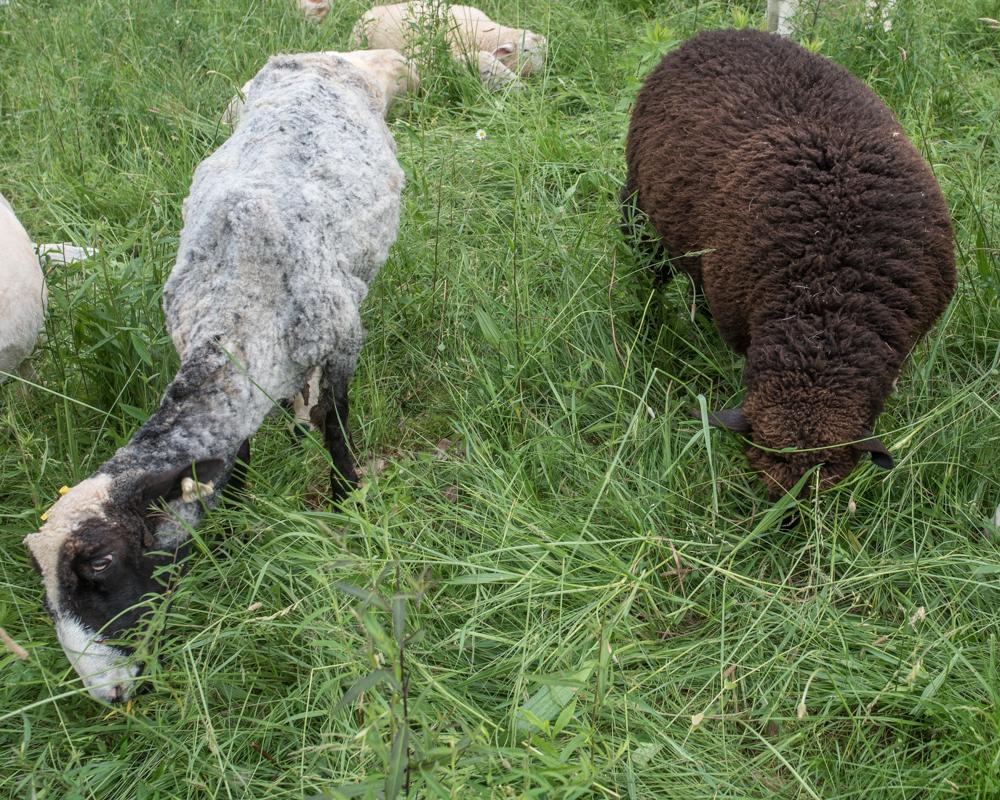Shearing day-0047