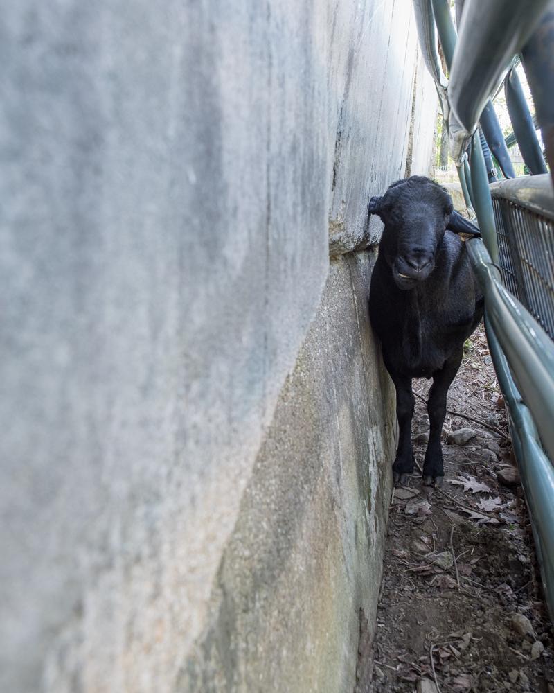 Sheep behind gates-9831
