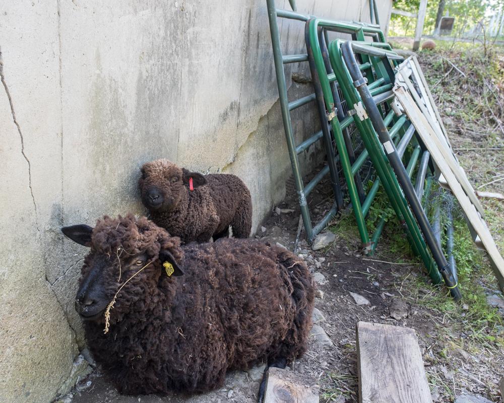 Sheep behind gates-9832