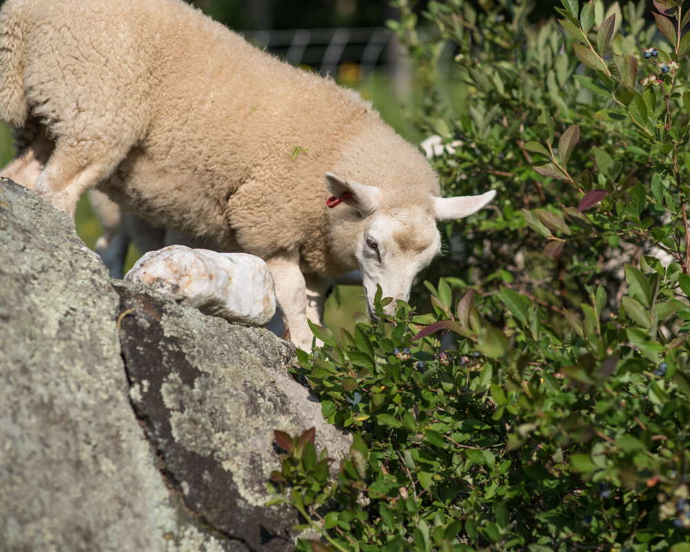 Sheep eating bluberries-0588