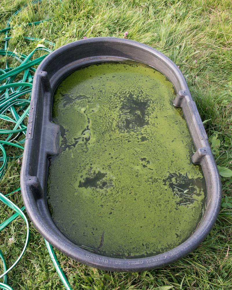 Algae on water tub-1198