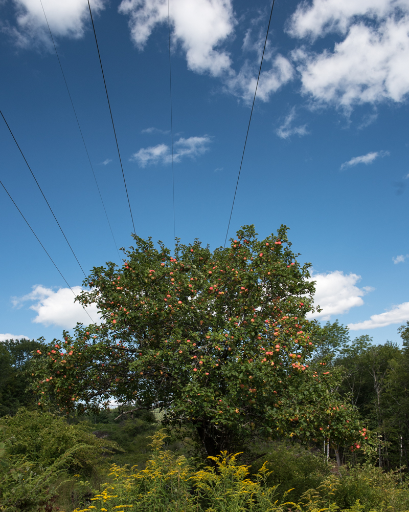 Apple tree power lines-1421