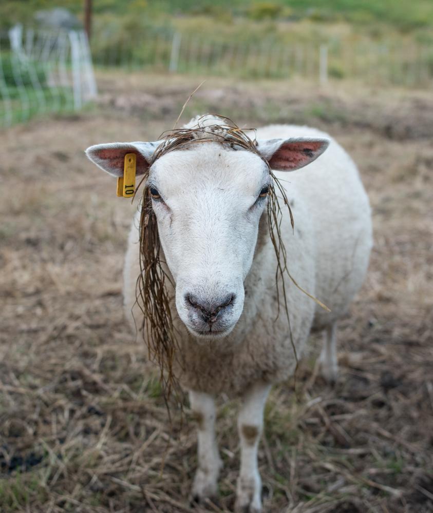 Ewe with wig-1764