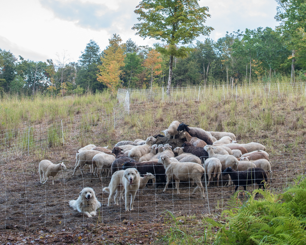 flock on bale 20170914-1792