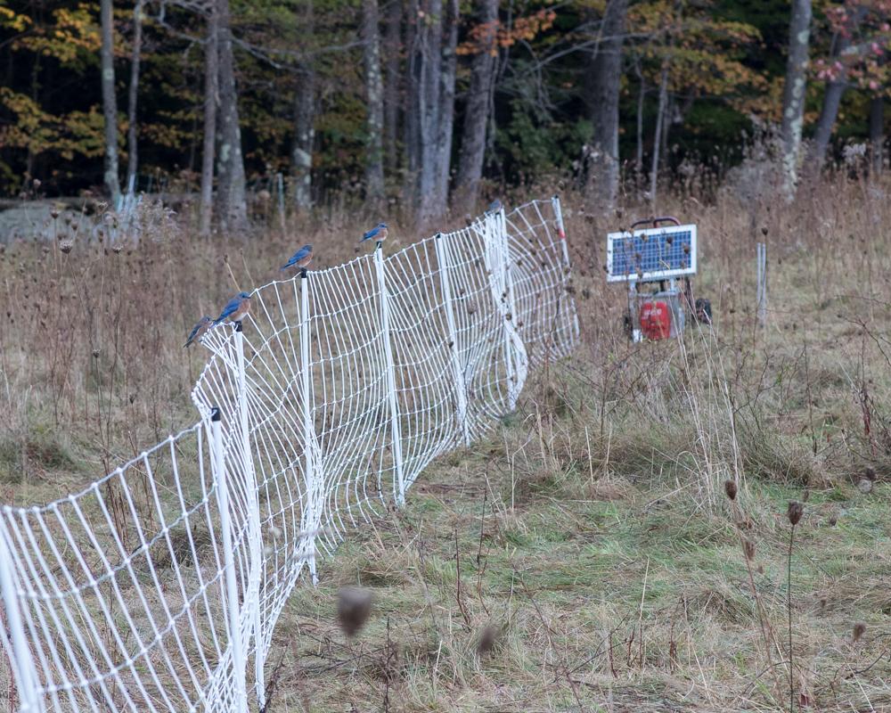 Bluebirds on fence-2639