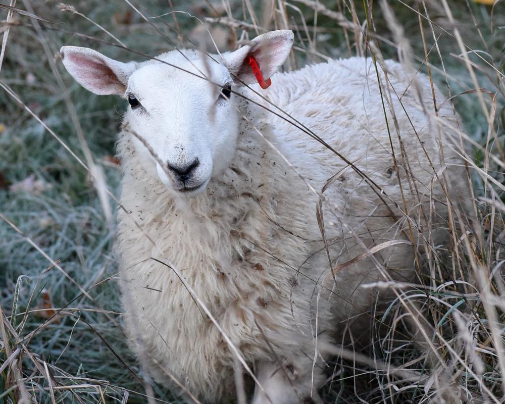 Escaping lamb-2575-2