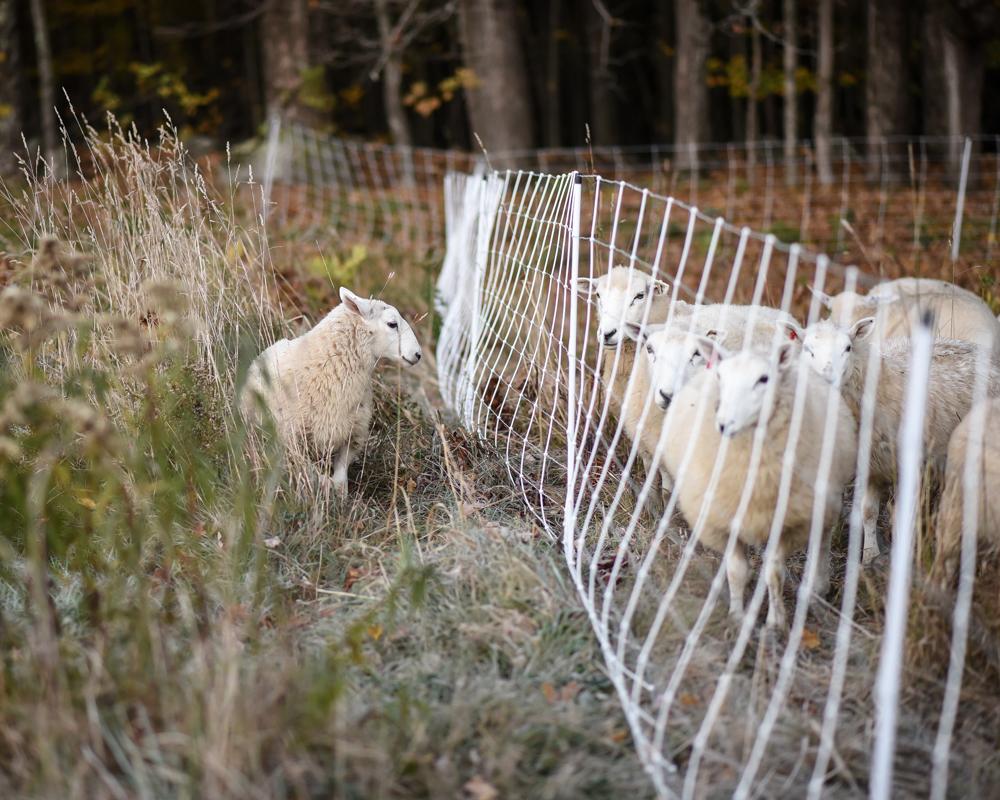 Escaping lamb-2601-2
