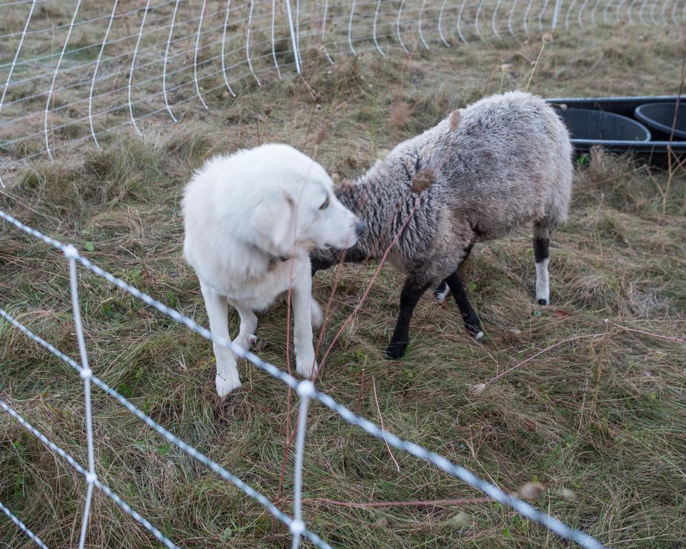amorous ewe-2149