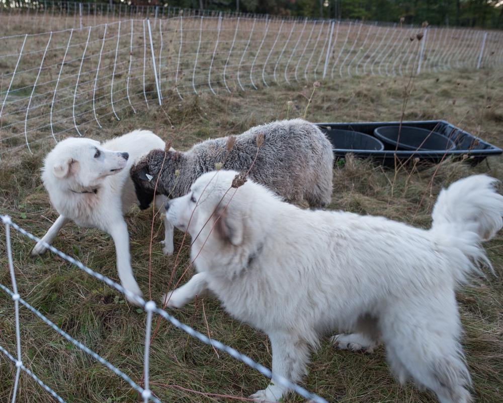 amorous ewe-2152