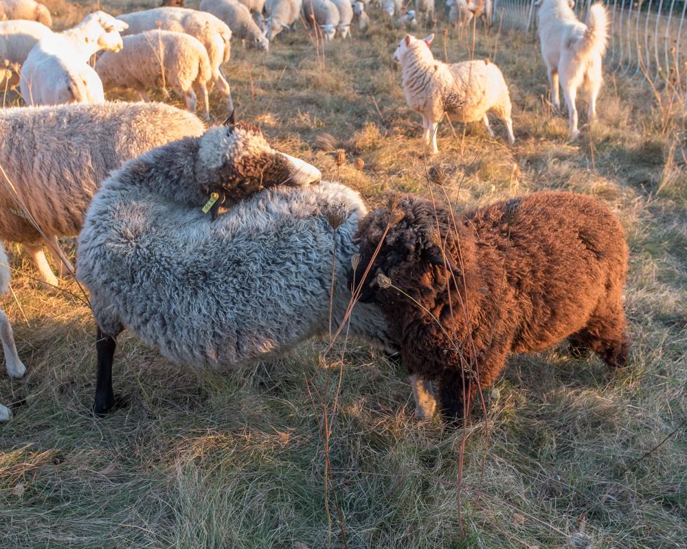 amorous ewe-2159