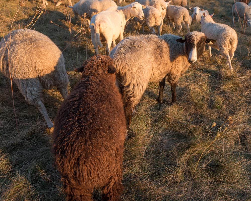 amorous ewe-2165