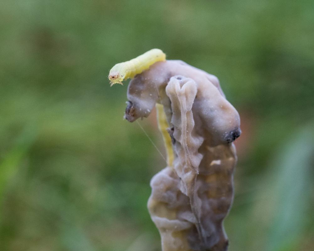 caterpillar die off-1857
